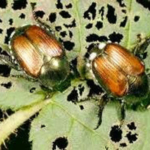 To ensure that nursery stock does not enter the state with Japanese Beetles, the Colorado Department of Agriculture (CDA) is proposing an additional change. (Courtesy of Colorado Nursery & Greenhouse Association)