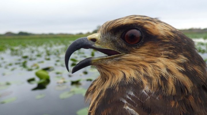 Bird evolves to keep up with invasive prey