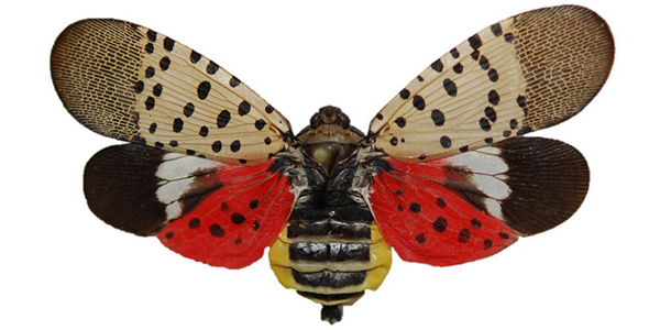 Spotted lanternfly spreading south through Delaware