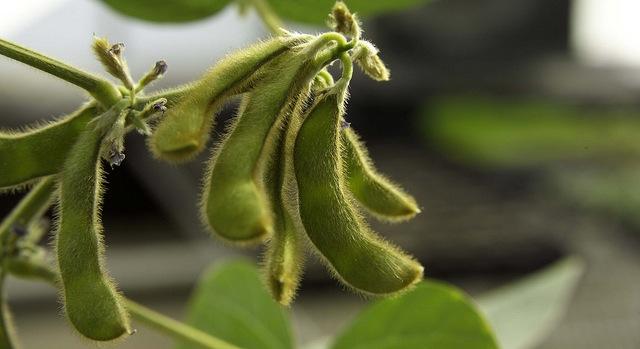 South American soybean progress