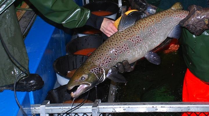 Salmon producer fined for farmed fish escape