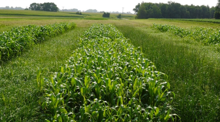 Alfalfa loss? Annual ryegrass is a win