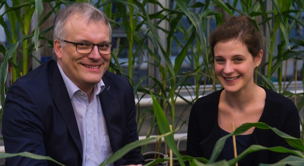 More genes active in high-performance maize