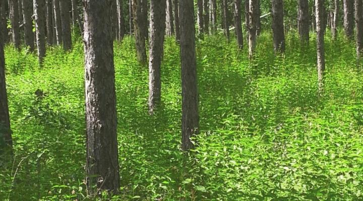 Predicting the behavior of invasive weeds