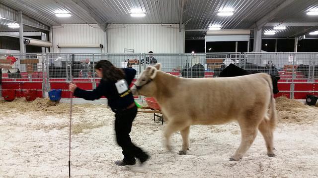 Children learn livestock showmanship
