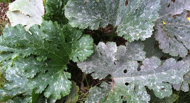 Vegalab releases new tool to control mildew