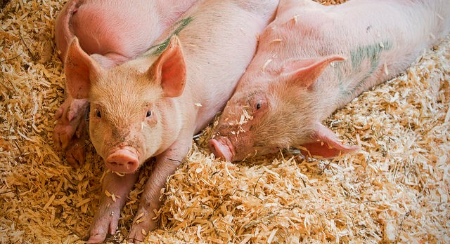 Mexico recognized free of classical swine fever