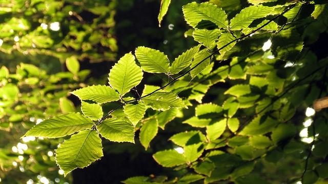 Study finds beech rising; maple declining