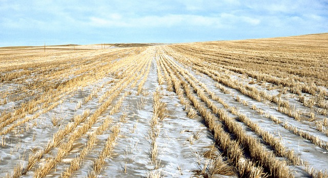 Cold spells problems for U.S. winter wheat