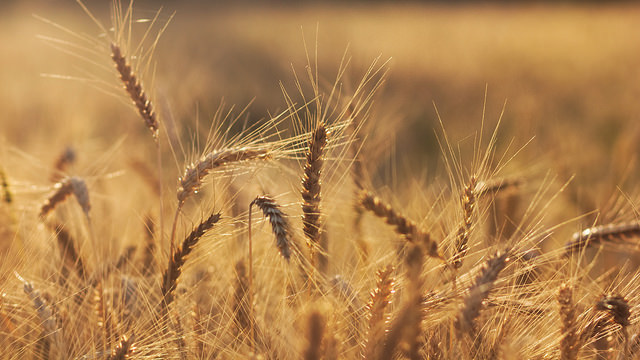 Government shutdown impacts wheat farmers