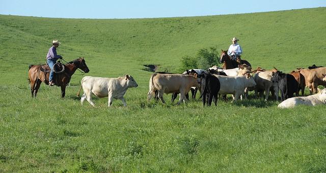NCBA, cattle genetics experts host webinar series