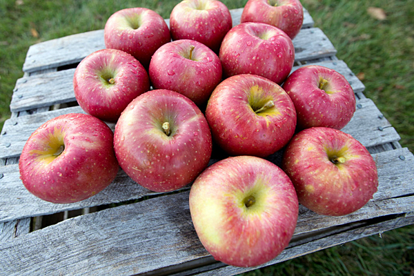 EverCrisp apple growers anticipating demand