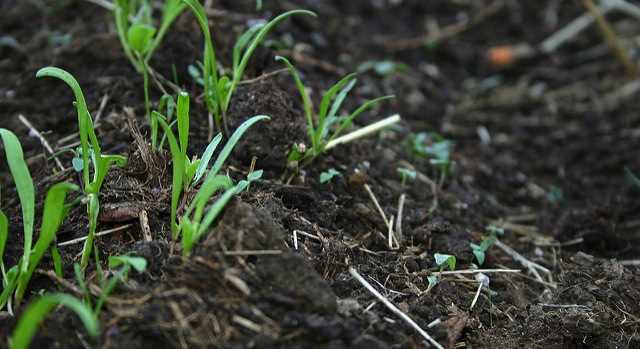 Prevention key to manage greenhouse weeds