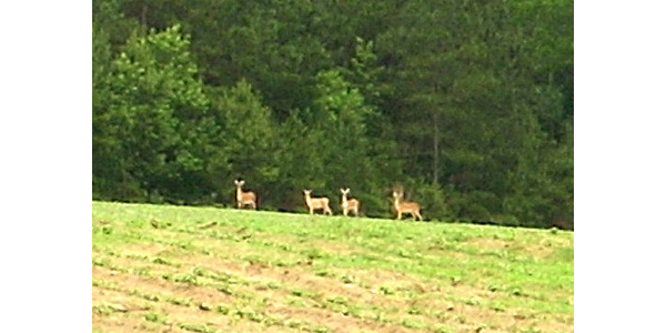 deer in soybean field