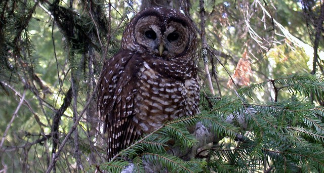 Pot farms blamed for poisoning of owls