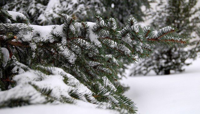 How to keep evergreens green in winter