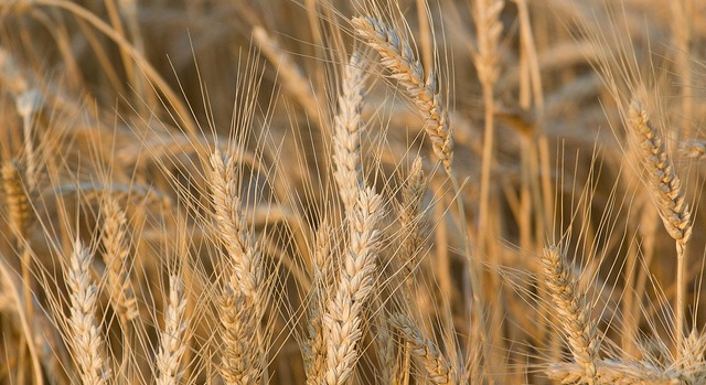 2018 National Wheat Yield Contest launches