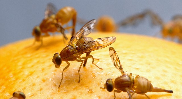 Mexican fruit fly quarantine in San Diego Co.