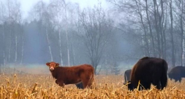Cow walks on wild side with Polish bison