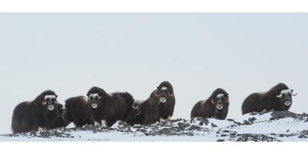 CSU researchers study Arctic mammals