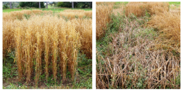 Deon oats (left) performed very well in the trial, whereas Streaker oats (right) experienced significant lodging, which greatly impacted yield. (Courtesy of MSU Extension)