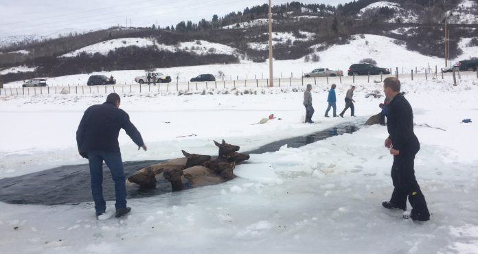 Alpine residents rescue elk from icy waters