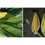 Figure 1. (left) Some unusual plant responses are due to genetics. Figure 2. Others are a result of management practices. Roger Elmore will discuss corn ear and plant abnormalities and their causes during one of 27 presentations at the Nebraska Crop Management Conference Jan. 24-25 in Kearney. (Photos by Roger Elmore)