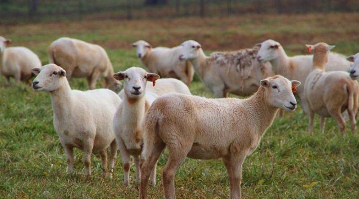 Ind. family raising Katahdin sheep for farm markets