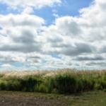 Mixed herbaceous energy crops at University of Illinois Energy Farm. (Credit: Lauren D. Quinn)