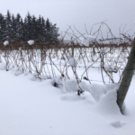 Thirty-six inches of snow insulate the trunks and cordons of grapevines grown on Leelanau Peninsula on Jan. 4, 2018. (Photo by Thomas Todaro, MSU Extension)