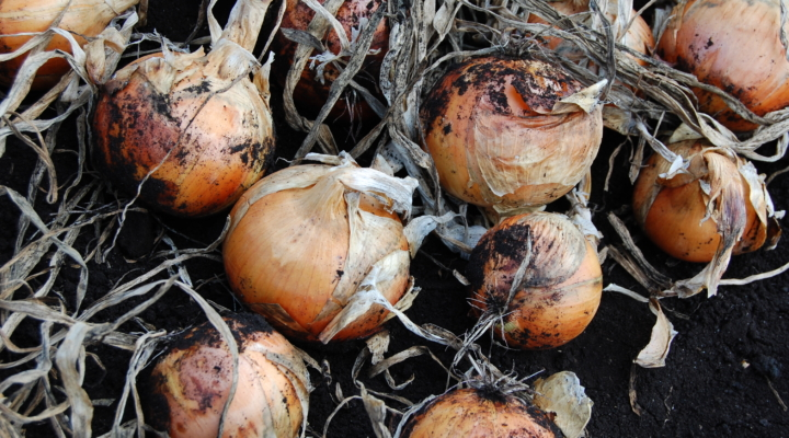 Tackling new allium pests & diseases with CCE