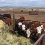 SDSU Extension is developing an online resource for cattle feeders who are interested in custom feeding cattle. If you are interested in being listed in that directory, visit http://igrow.org/livestock/beef/finding-choosing-custom-feeding-partners/.