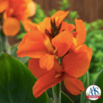 South Pacific Orange F1 canna. (Courtesy of All American Selections)