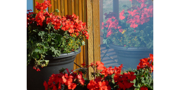 Growing geraniums from seed