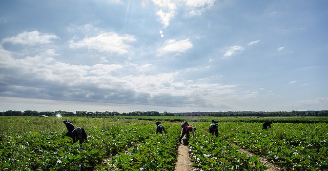 Vegetable farmers depend on Mexican workers