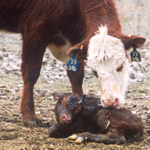 The Cold Advisory for Newborn Livestock (CANL) forecast at the Aberdeen National Weather Service website can be a useful tool when preparing for new newborn calves, in particular in the first 24 hours. (Courtesy of SDSU Extension)