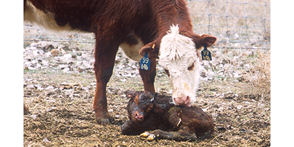 Using weather forecasts for newborn calf health