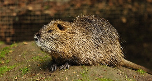 Officials ask for public's help against nutria