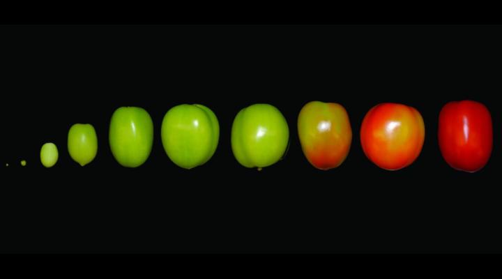 New 'Tomato Expression Atlas'