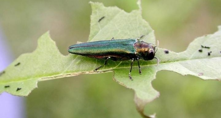 Emerald ash borer: Preparing for invasion