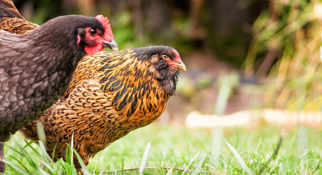 Raising Your Poultry