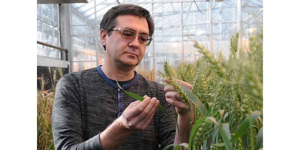 Eduard Akhunov, K-State professor of wheat genetics and pathology, looks at wheat spikes in the university's greenhouse. (Courtesy of K-State Research and Extension)