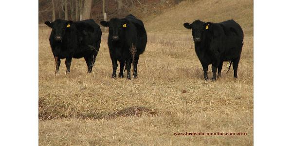 angus heifers