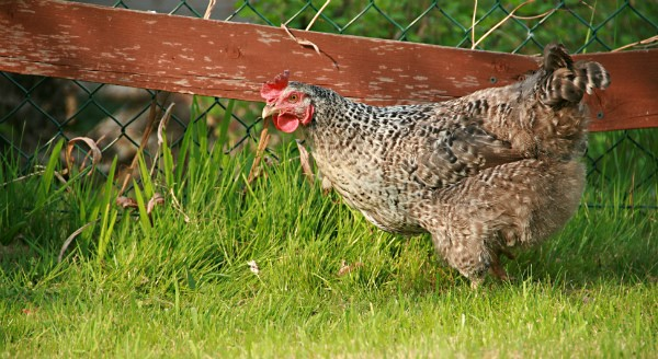 Agriculture agent Sharon Fox Gamble will explain how to get started in raising  backyard chickens. (Karen Jackson, Flickr/Creative Commons) - Learn How To Raise Backyard Chickens Morning Ag Clips