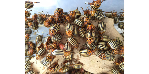 Colo. potato beetle genome gives insight into pest