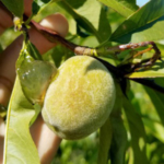 Peach shoot damage and fruit ooze from oriental fruit moth damage. (Photo by Dave Jones, MSU Extension)