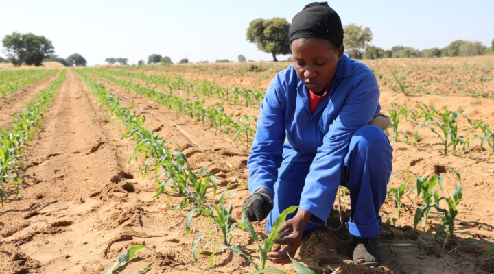 FAO helps tackle Fall Armyworm in Africa