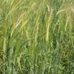 Spartan barley, bred over 100 years ago by the Michigan Agricultural Experiment Station, is now available through the Michigan Crop Improvement Association in very limited quantities. (Photo by Ashley McFarland, MSU Extension)