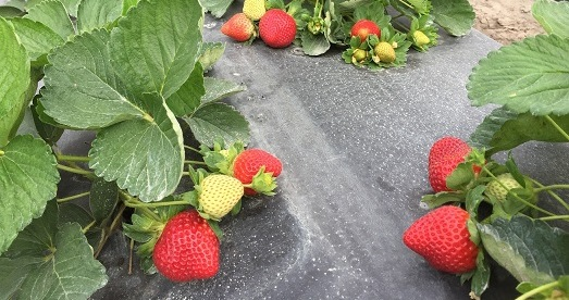 Nat'l Strawberry Day calls attention to UF varieties