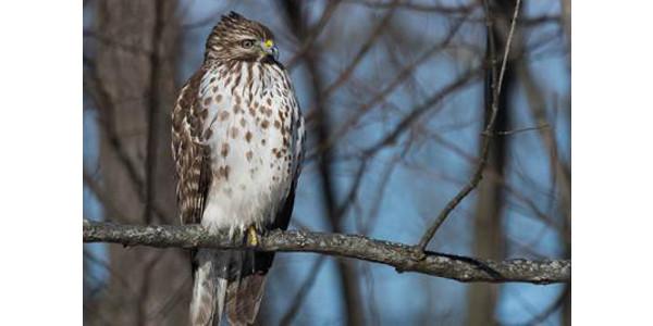 A juvenile hawk. (PHOTO: Thinkstock.com)